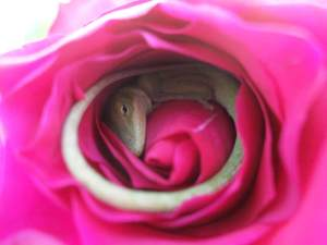 a-lizard-taking-a-cozy-nap-inside-a-rose-is-the-most-adorable-thing2